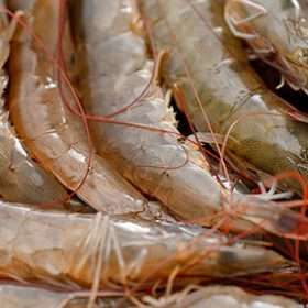 USSEC addresses soy misperceptions in its inclusion in shrimp feeds