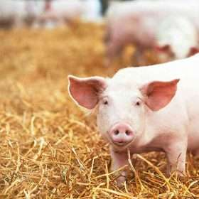 African Swine Fever (ASF) affects Brazilian pork export market