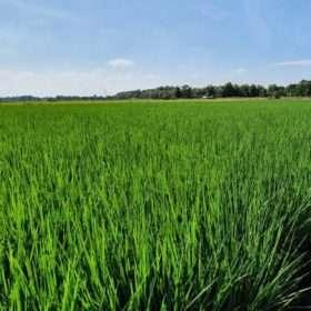 La riqueza genética alimenta a los campos