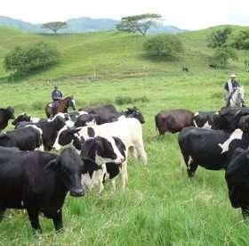 Colombia: Primeras pruebas del nuevo dispositivo que permite rastrear el ganado por el abigeato